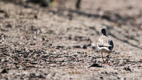 Lonely Sandpiper by Andy LeBlanc