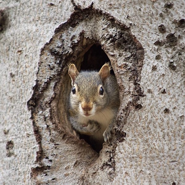 Squirrel in tree hole by Andy LeBlanc
