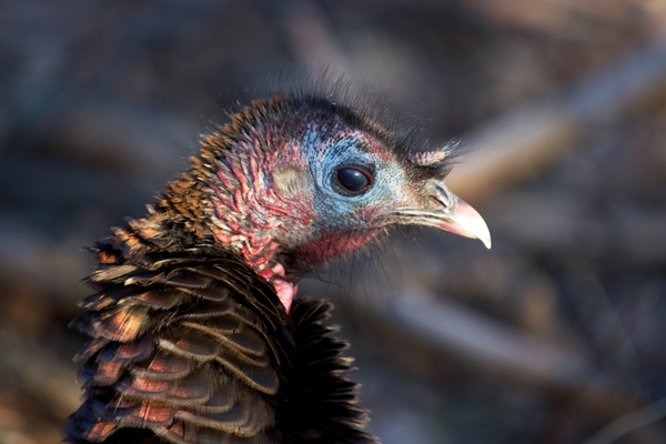 Wild turkey head shot by Andy LeBlanc
