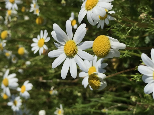 Camomile flower in Portugal by Anita Varga