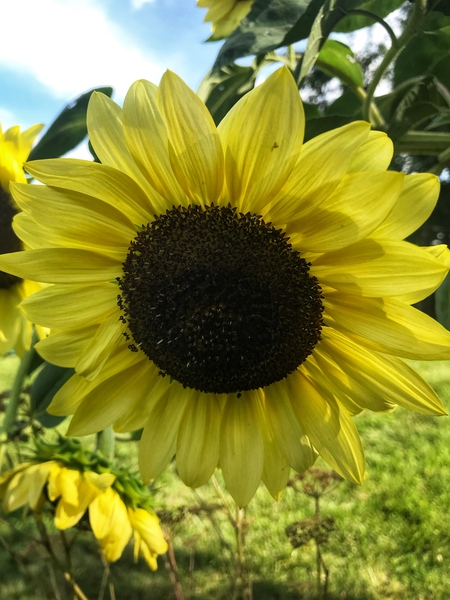 sunflower in Hungary Europe by Anita Varga
