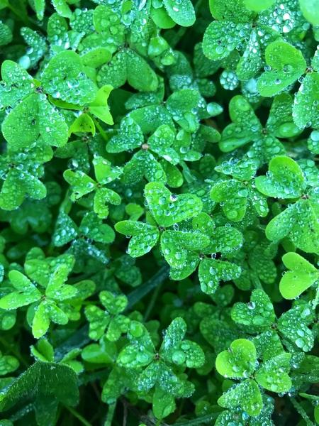 Green clover  by Anita Varga