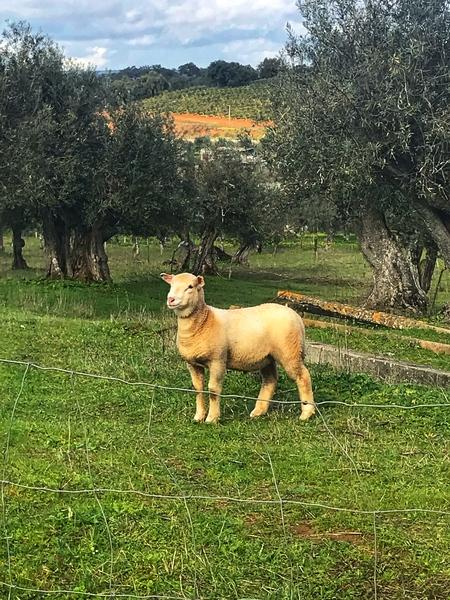 A sheep in central Portugal by Anita Varga