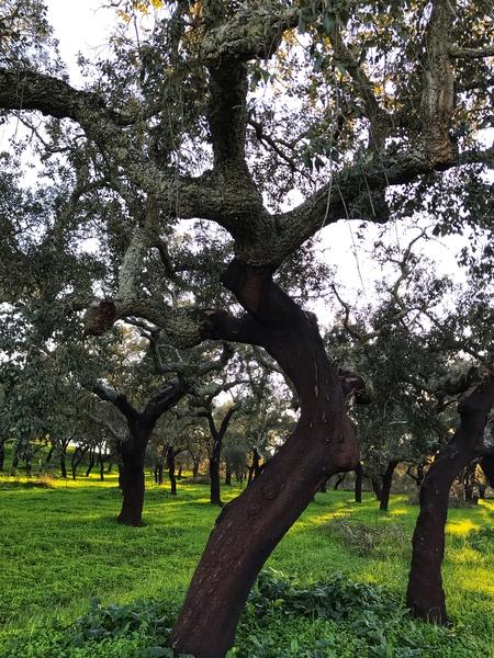 Cork tree in central Portugal by Anita Varga