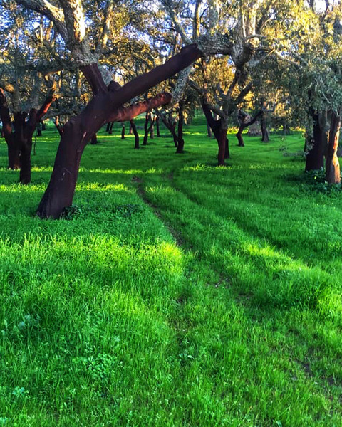 A forest of cork trees in central Portugal by Anita Varga
