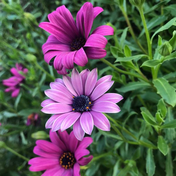 Purple flowers in Portugal by Anita Varga