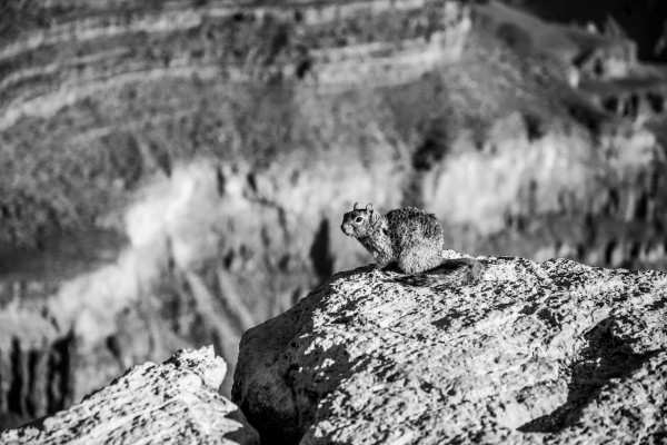 Desert Squirrel  by Anthony M Farber