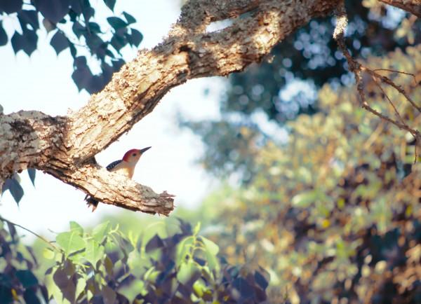 Gulf Coast Woodpecker by Anthony M Farber