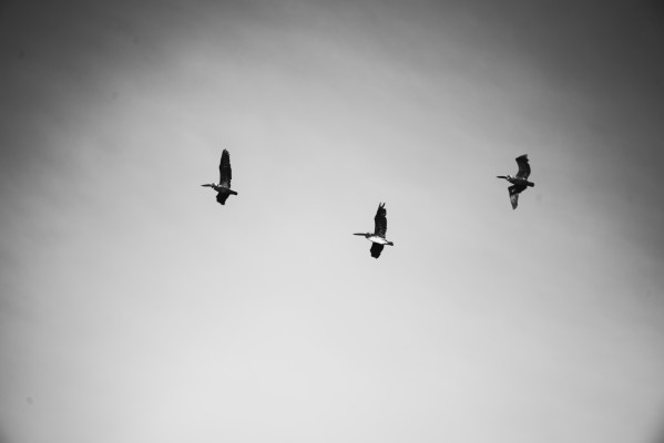 Seagulls in Black and White by Anthony M Farber