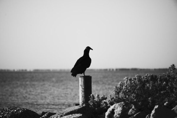 Vulture at the Beach by Anthony M Farber