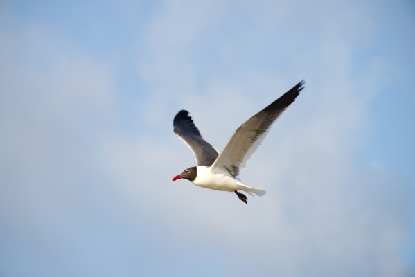 Gull in flight by Anthony M Farber