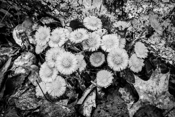 Flowers ap 2222 B&W by Artistic Photography