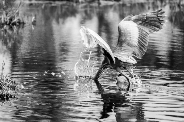Great Blue Heron ap 1774 B&W by Artistic Photography