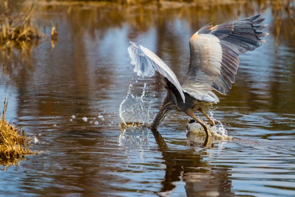 Great Blue Heron ap 1774 by Artistic Photography
