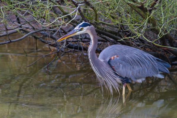 Great Blue Heron ap 1840 by Artistic Photography