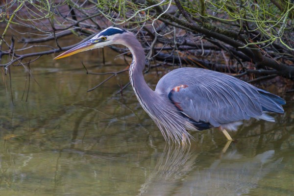 Great Blue Heron ap 1841 by Artistic Photography