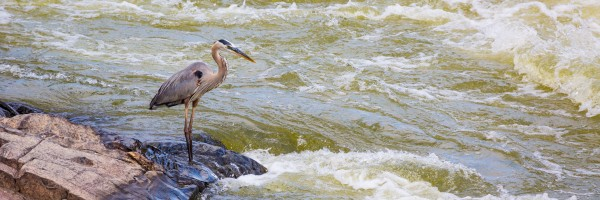 Great Blue Heron ap 2014 by Artistic Photography