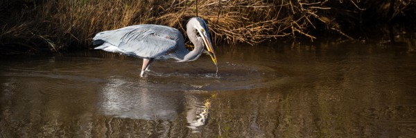 Great Blue Heron ap 2131 by Artistic Photography