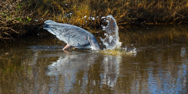 Great Blue Heron ap 2135 by Artistic Photography