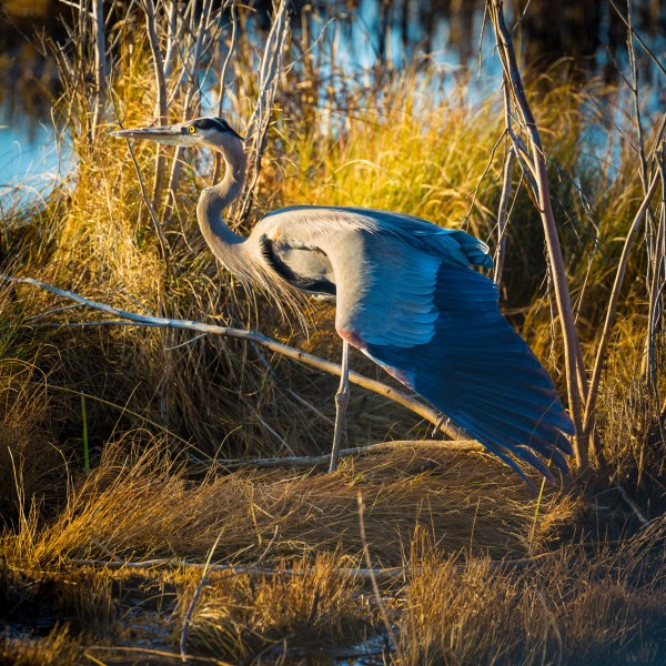 Great Blue Heron ap 2136 by Artistic Photography
