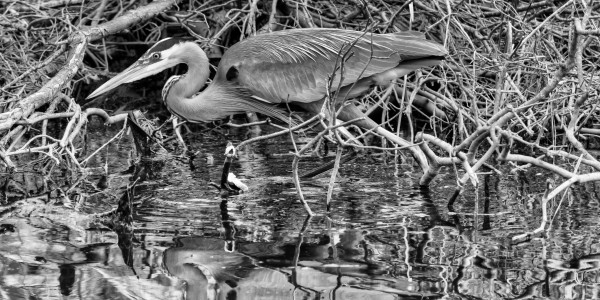 Great Blue Heron ap 2744 B&W by Artistic Photography