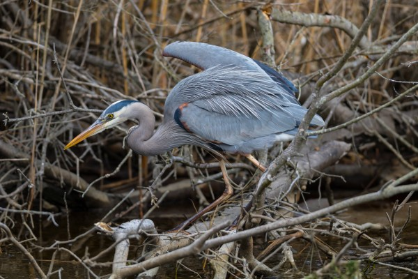 Great Blue Heron ap 2746 by Artistic Photography