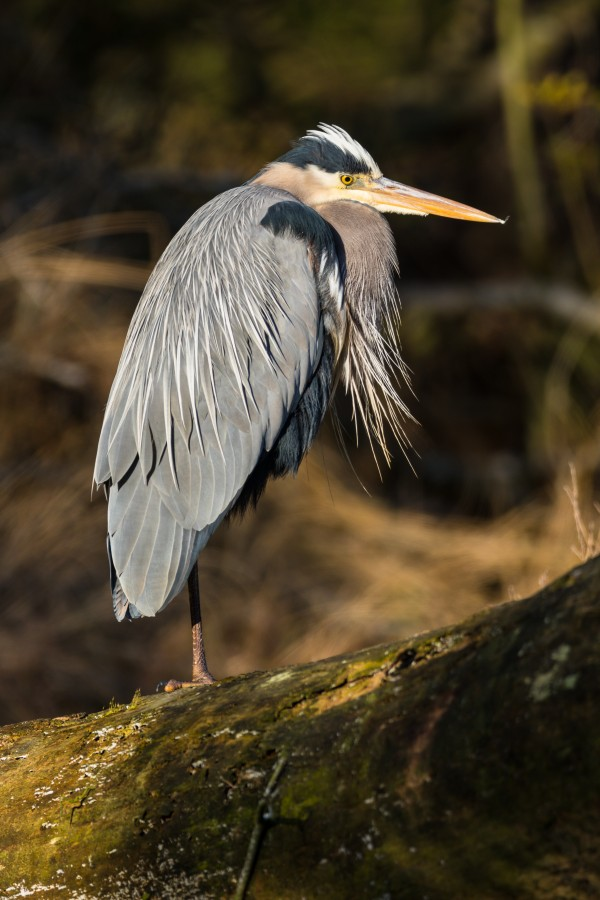 Great Blue Heron ap 2752 by Artistic Photography