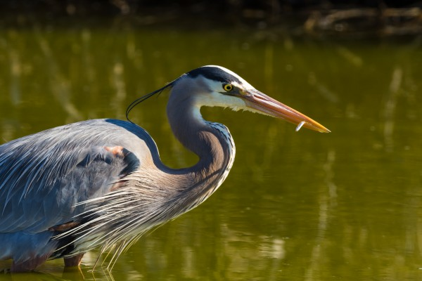 Great Blue Heron ap 2828 by Artistic Photography
