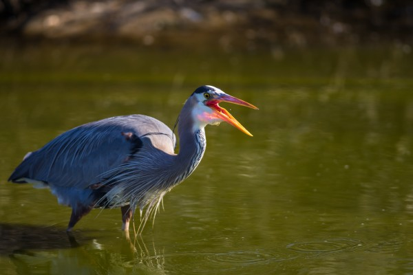 Great Blue Heron ap 2831 by Artistic Photography