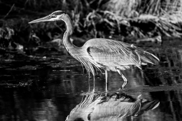 Great Blue Heron ap 2841 B&W by Artistic Photography