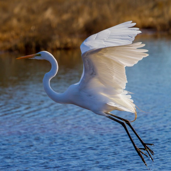 Great White Egret ap 1752 by Artistic Photography