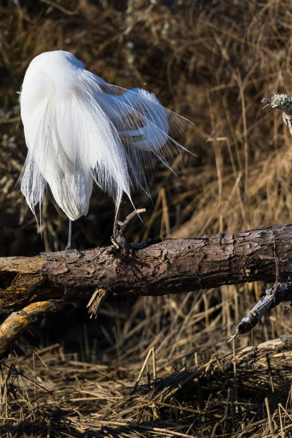 Great White Egret ap 2766 by Artistic Photography