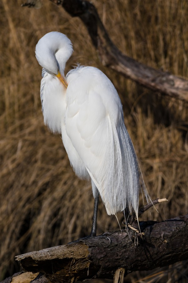 Great White Egret ap 2767 by Artistic Photography