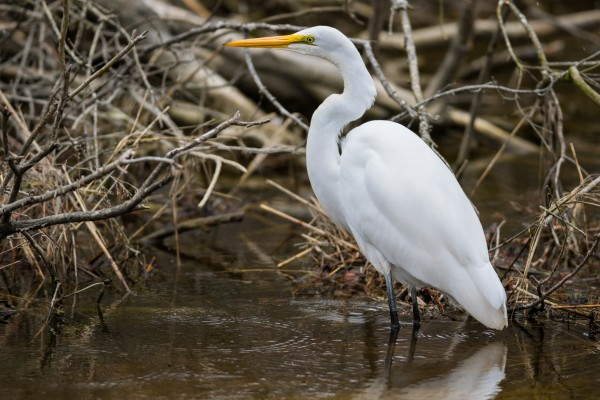 Great White Egret ap 2806 by Artistic Photography