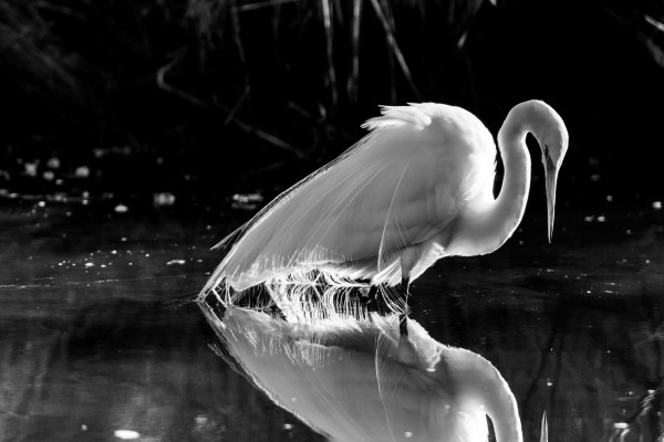 Great White Egret ap 2844 B&W by Artistic Photography