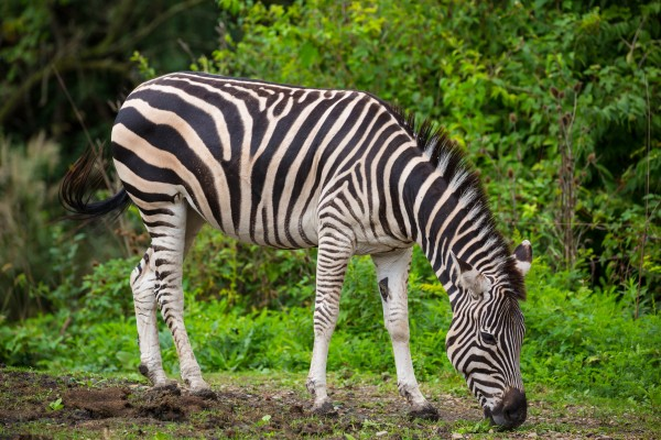 Zebra ap 2908 by Artistic Photography