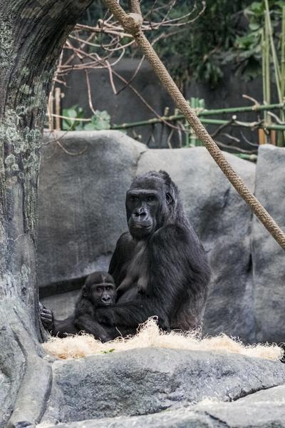 Baby Gorilla  by Ashley ML Studios