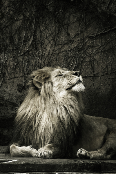 Chill of the Day  Lion  by Ashley ML Studios