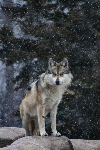 Cold Night Wolf by Ashley ML Studios