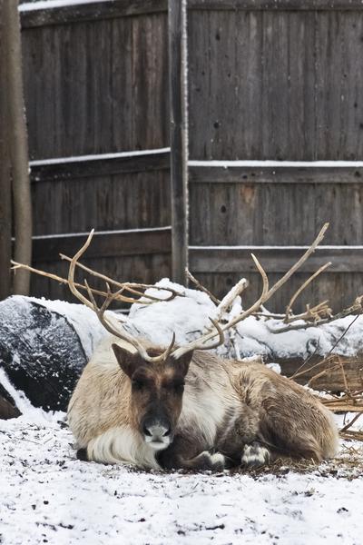 Enjoying the Snow  Caribou   by Ashley ML Studios