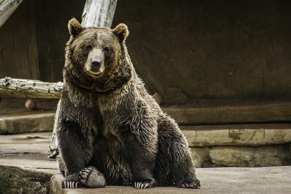 Greetings  Brown Bear  by Ashley ML Studios