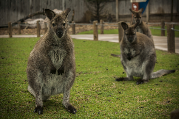 Intriguing   Wallaby  by Ashley ML Studios