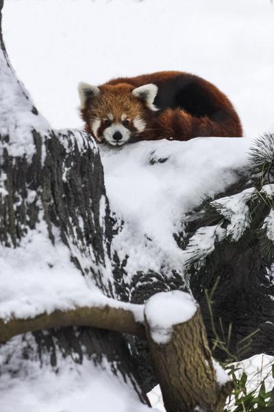 Red Panda by Ashley ML Studios