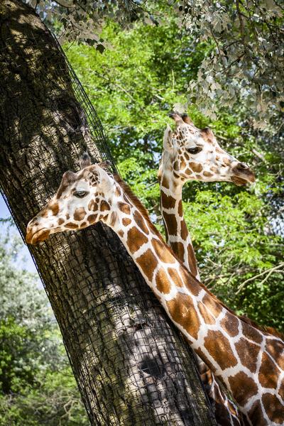 Spots Under Shadows  Giraffes  by Ashley ML Studios