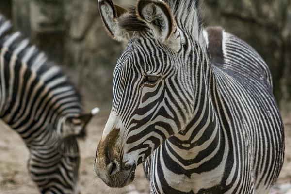 Stripes  Zebra  by Ashley ML Studios