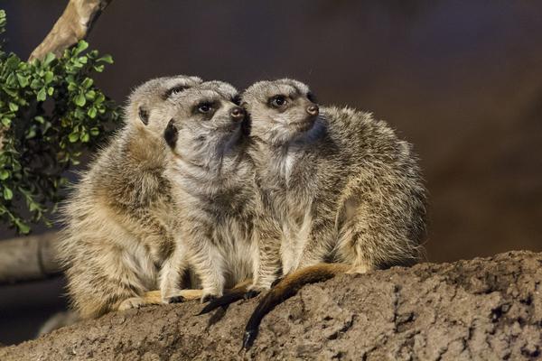 Take Watch  Meerkats  by Ashley ML Studios