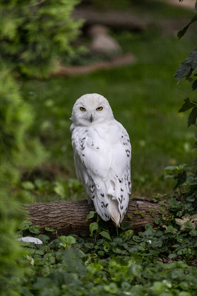 Yellow Eyes  Snow Owl  by Ashley ML Studios