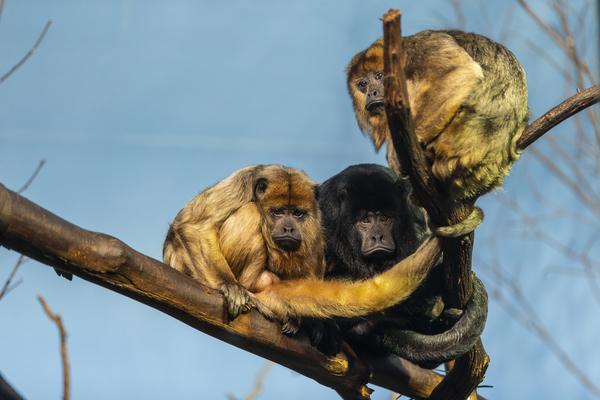 Eyes in the Trees  Howler Monkey  by Ashley ML Studios