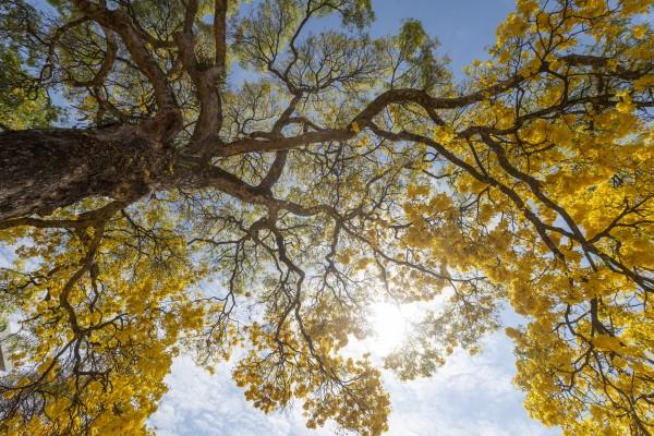 Golden Bloom - 04 by Augusto Miranda