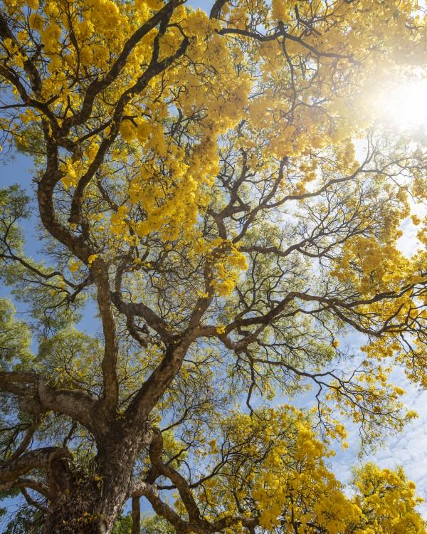 Golden Bloom - 05 by Augusto Miranda